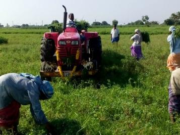 Indigo Cultivating